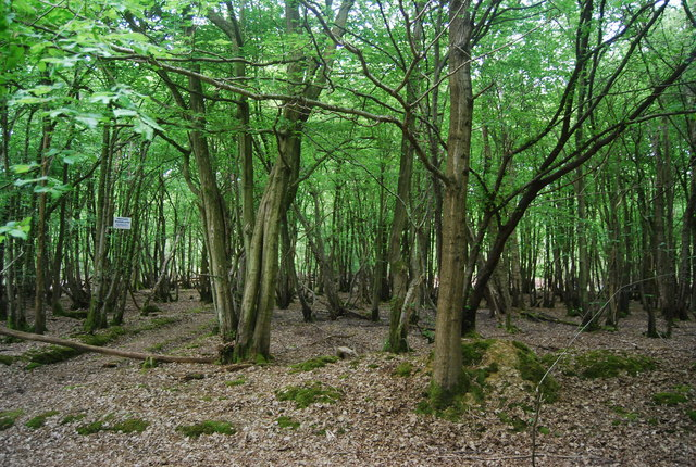 Coppiced trees, Wapsbourne Wood