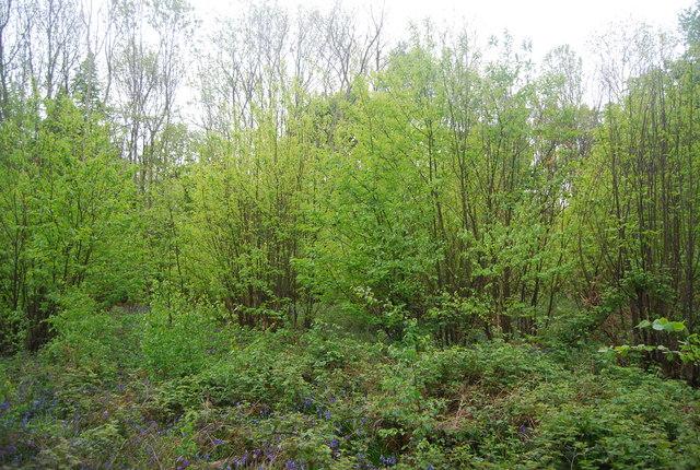New growth in Wapsbourne Wood