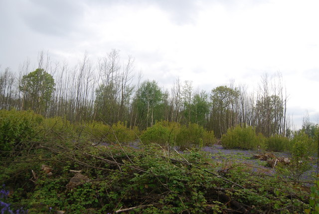 Coppiced area in Wapsbourne Wood