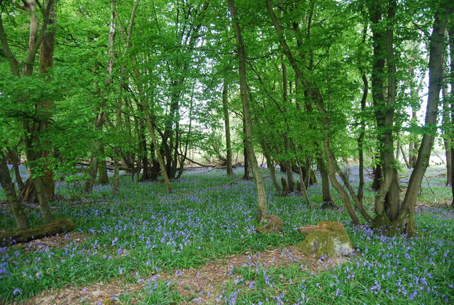 Bluebells in Wapsbourne Wood