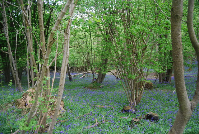 Coppiced trees and bluebells, Hammer Wood
