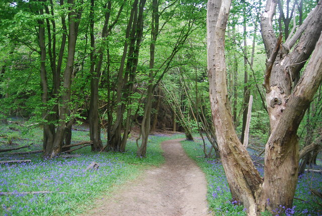 Coppiced trees and bluebells by the Sussex Ouse Valley Way, Hammer Wood