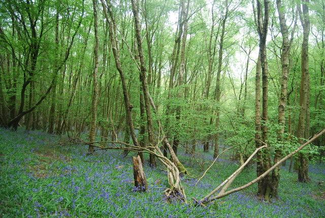 Bluebells, Hammer Wood
