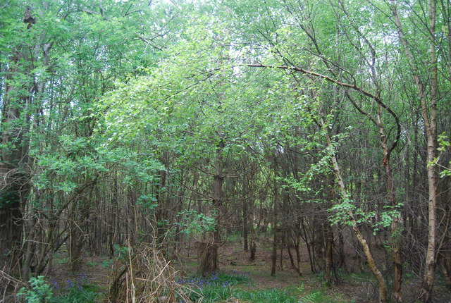 Young trees, Hammer Wood