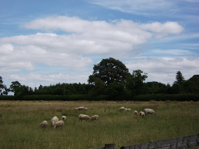 Sheep in field at Priors Marston
