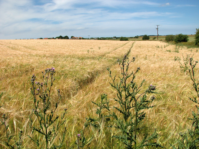 A field of ripening Barley, Wells-next-the-Sea