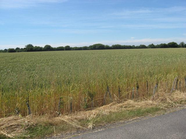 Arable crops adjacent to Old Park Lane
