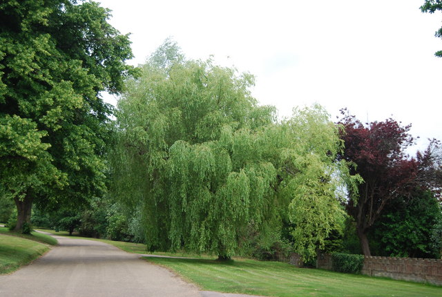 Willow tree, The Crossway, Nevill Park