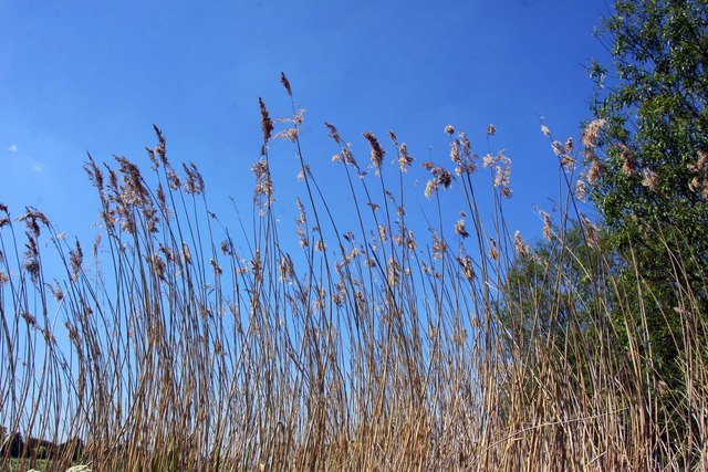 Dried reeds by the Thames