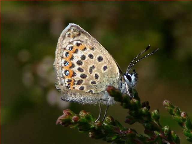Silver Studded Blue, West  End Common