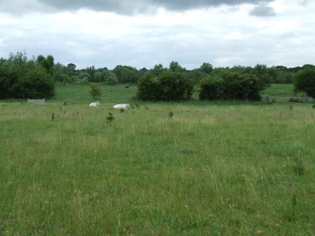 Cattle near Kingsmead