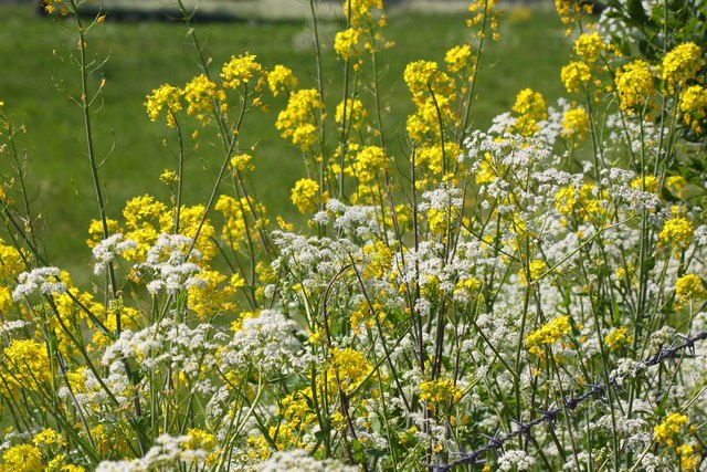 White and yellow wildflowers near benson steve daniels geograph white and yellow wildflowers near benson mightylinksfo Images