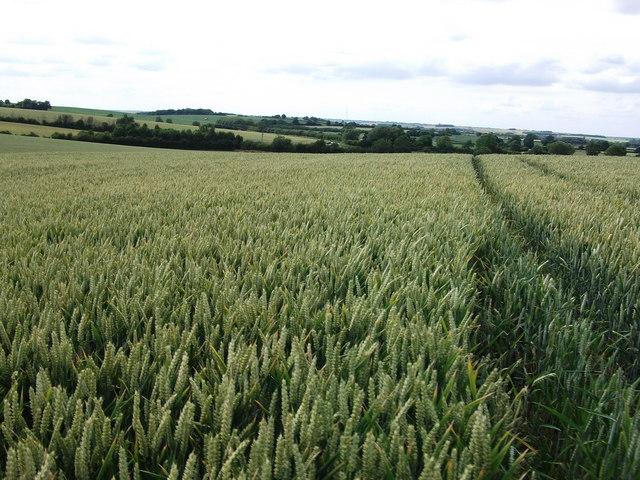 Field of wheat near Stoneton Manor