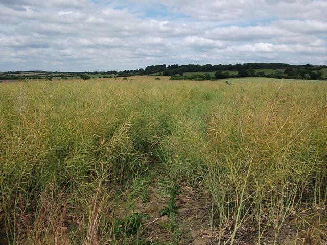 Field of rapeseed near Newfield Pool