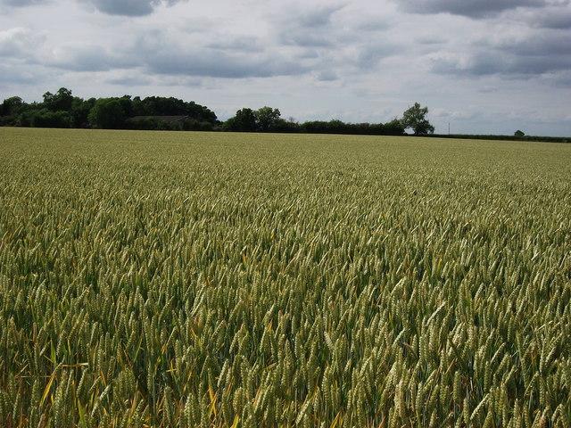 Field of wheat at Wormleighton