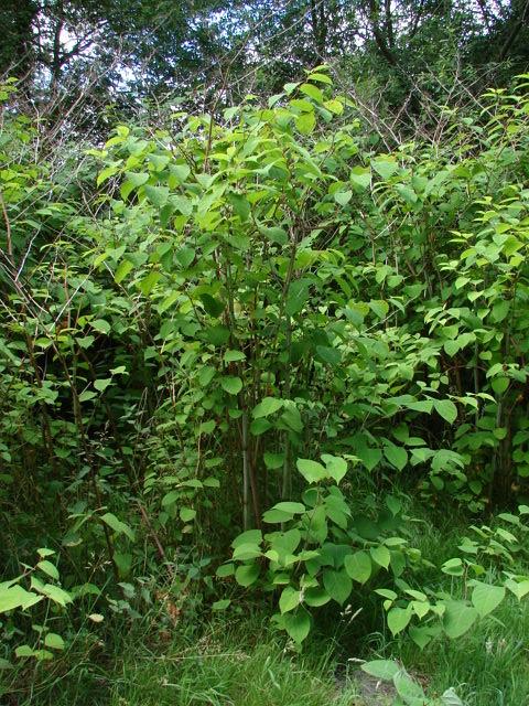 Bisley Common, Japanese Knotweed