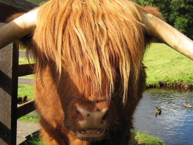 Highland Cow, Blair Atholl