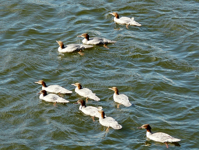 Flock of goosander on the River Annan