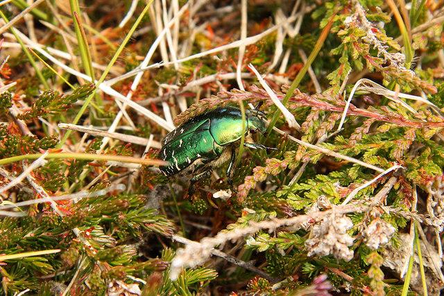 Green Rose Chafer beetle (Cetonia aurata)