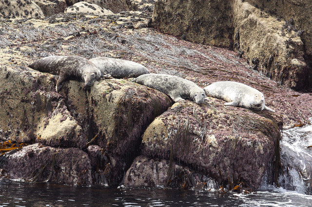 Seals on Scilly Rock