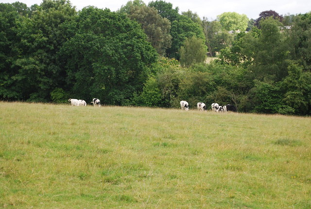 Cattle grazing just south of Nevill Park