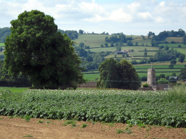 Bean field, Kingstone