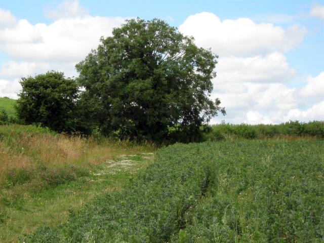 Bean field, Allowenshay