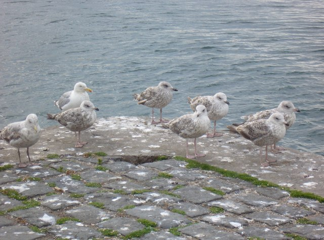 Seagull chicks at Port Seton