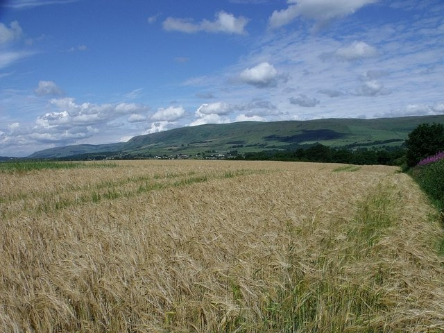 Field of ripening barley
