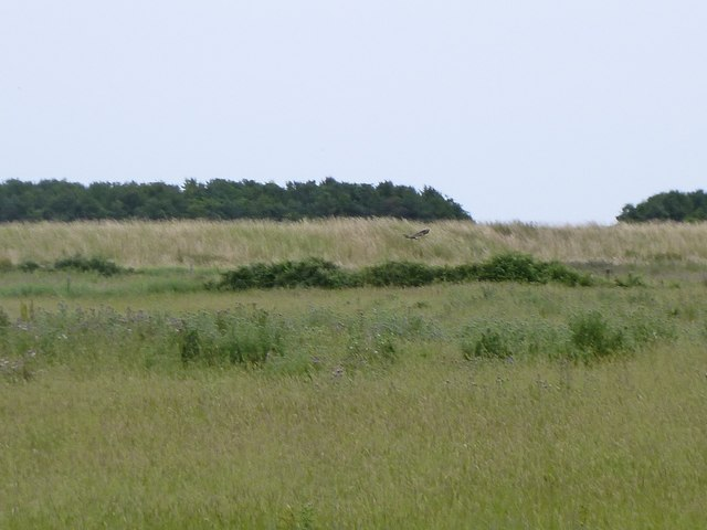 Old sea wall at Holkham, with marsh harrier