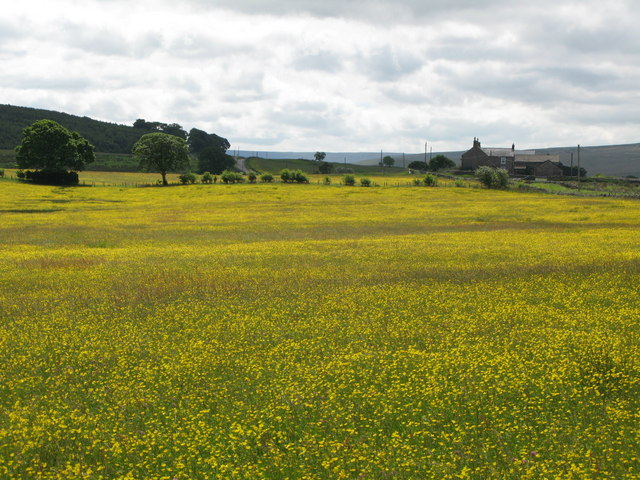 Buttercup meadows south of Lanehead