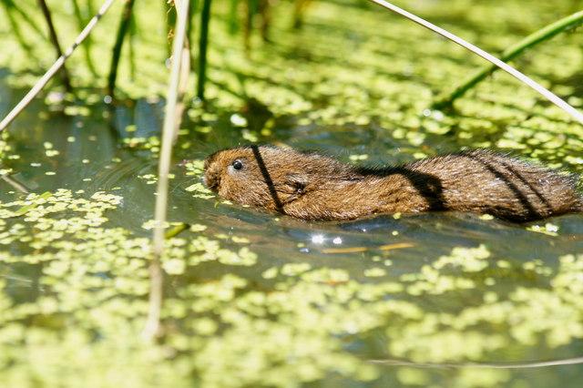 Water Vole at the British Wildlife Centre, Newchapel, Surrey