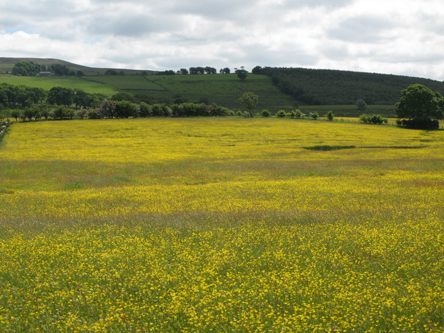 Buttercup meadows south of Lanehead (2)