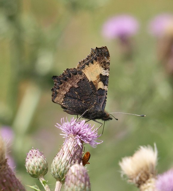 Butterfly on thistle above Smuggler's Cove