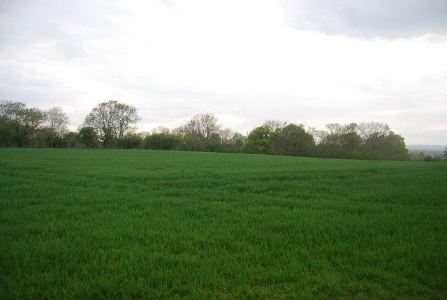 Wheat near Nash Farm