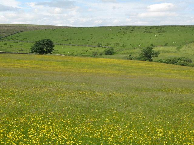 Buttercup meadow northwest of Batey Shield