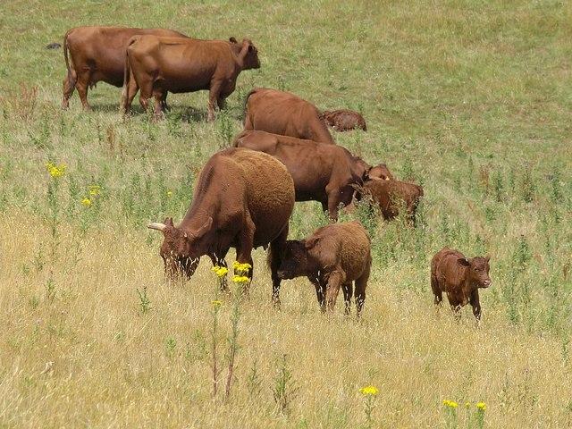 Cattle near Maidencombe