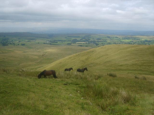 Fell Ponies