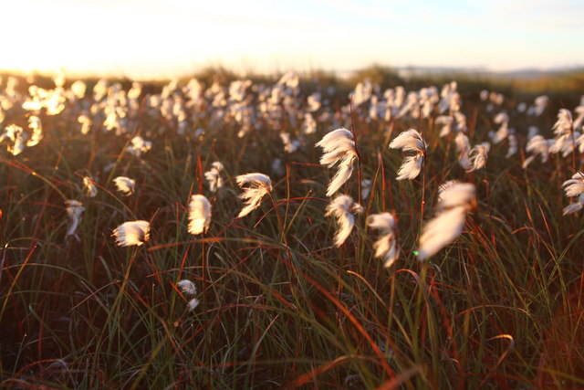 Cottongrass or Mountain Silk