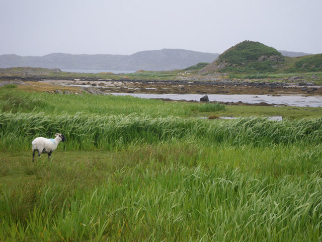 Sheep grazing on the nearly level backshore