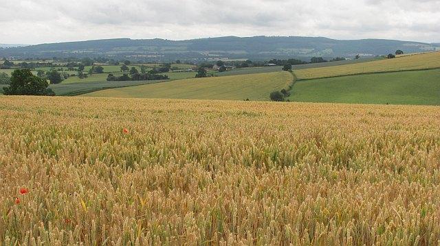 Wheat, Upper Dinchope