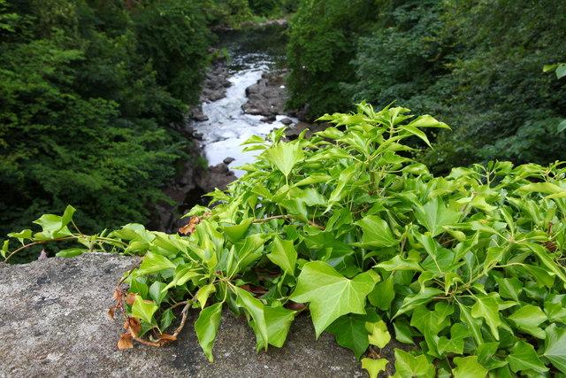 Ivy on Craigiehall Bridge