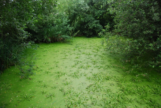 An Algae covered pond