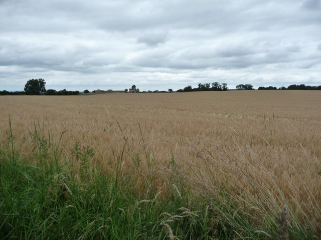 Wheat field alongside Crindle Carr Lane
