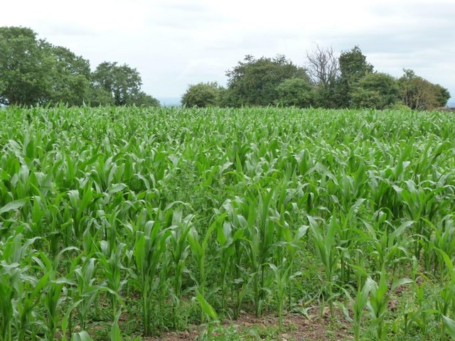 Corn field and trees