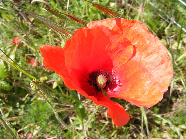 Poppy on Peasenhall Road