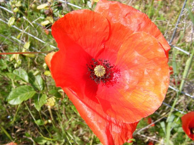 Poppy on Peasenhall Road