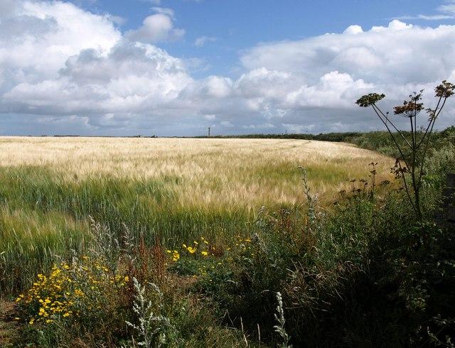 Field of barley near High Lanes