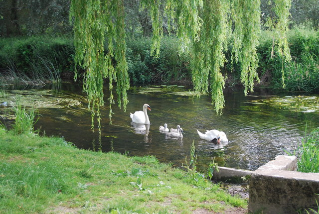Swans and Cygnets on the River Yare