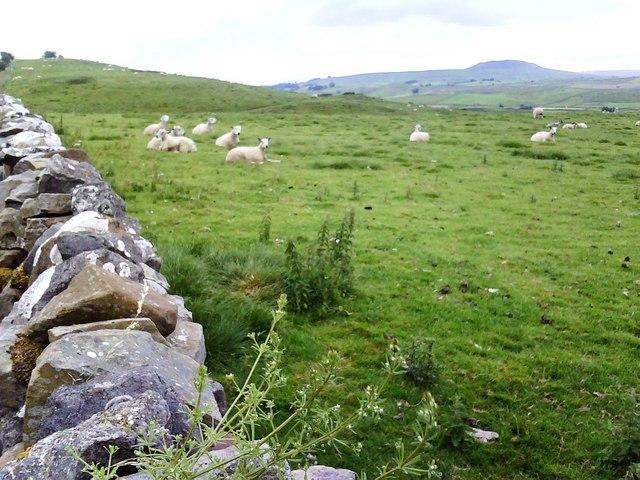 Sheep over dry stone wall near Cams House